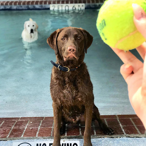 Chocolate lab staring at a tennis ball