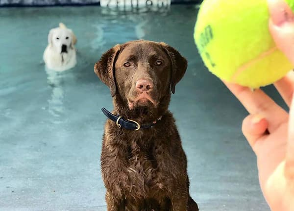 dog and person playing ball at the pool