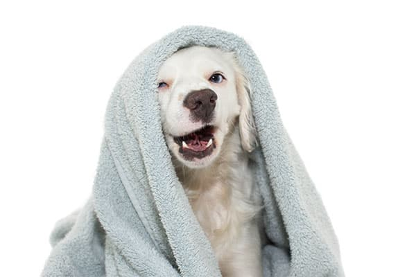 dog under a towel