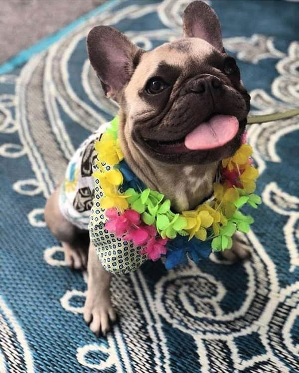 dog dressed up for a luau